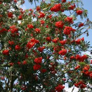 Baum oder Strauch mit weißen Blüten im Mai - Juni und roten Beeren ab August, Herbstlaub gelborange - rot.